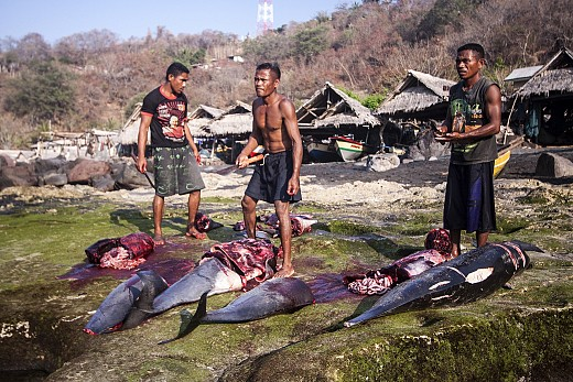 Fishermans cutting dolphins