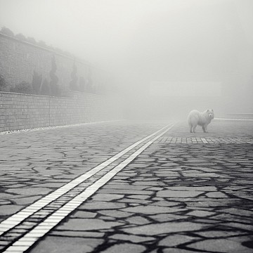 The white dog in the fog